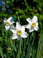 narcyz bialy narcissus poeticus