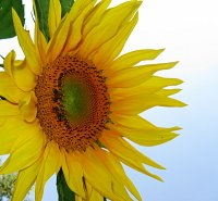 Sunflower..