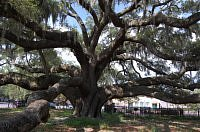 old oak tree safety harbor
