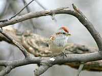 Chipping Sparrow - Spizela białobrewa.