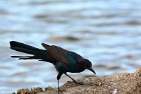 great tailed grackle wilgowron