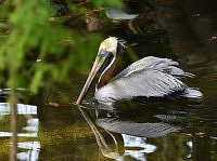 Brown Pelican -Pelikan brunatny.