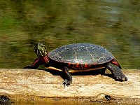 red eared slider zolw