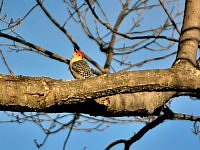 red bellied woodpecker dzieciol