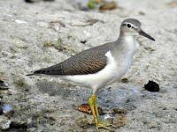 Spotted sandpiper - Brodziec plamisty.
