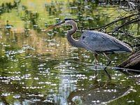 great blue heron czapla modra
