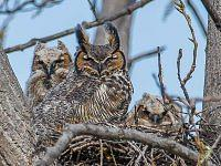 Great horned owl - Puchacz wirginijski.