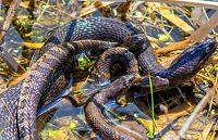 northern water snake polnocny