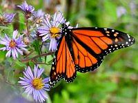 Monarch butterfly.